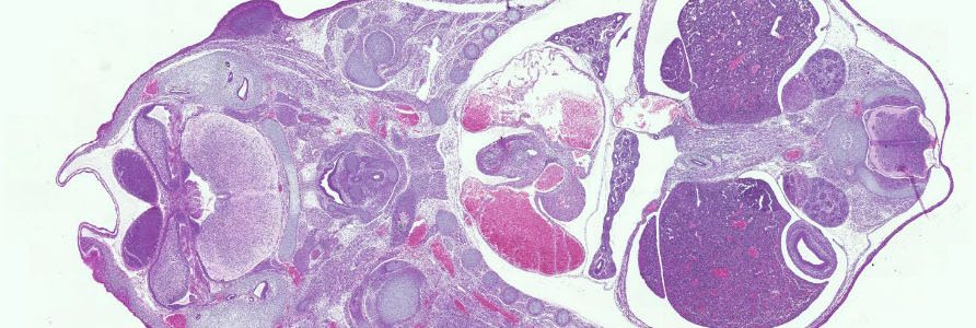 Mouse embryo E14.5